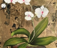 orkide5